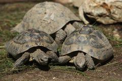 Östliga Hermanns sköldpadda (Testudohermanniboettgerien) Royaltyfria Foton