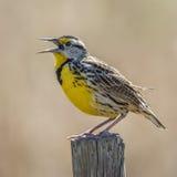 Östliga Meadowlark Singing From ett staket Post - Florida Royaltyfria Bilder