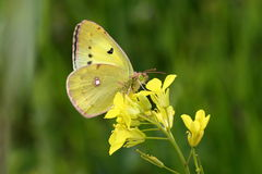 Östliga Pale Clouded Yellow Arkivbilder
