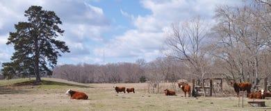 Östliga Texas Cattle Ranch Fotografering för Bildbyråer