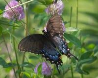 Östliga Tiger Swallowtail Female på växt av släktet Trifolium Arkivbilder