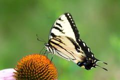 Östliga Tiger Swallowtail på blomman Arkivbilder