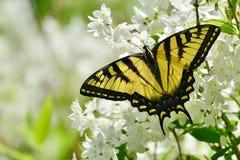 Östliga Tiger Swallowtail på den falska apelsinen blomstrar parkerar högt Fotografering för Bildbyråer