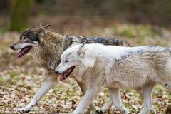 östliga två wolves Arkivfoton