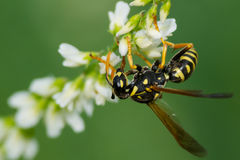 Östliga Yellowjacket Wasp Royaltyfria Foton