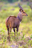 Östligt afrikanskt bushbuckanseende i busken royaltyfri fotografi
