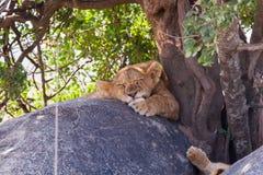 Östligt afrikanskt för leo för Panthera för lejongröngöling sova melanochaita Royaltyfria Bilder