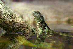 Östligt bevattna draken royaltyfri foto