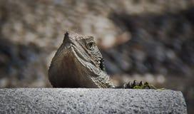 Östligt bevattna draken Royaltyfri Bild