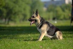 Östligt - den europeiska fårhunden sitter fotografering för bildbyråer
