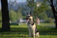 Östligt - den europeiska fårhunden sitter arkivfoto