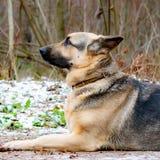 Östligt - européherde Den unga driftiga förskräckta hunden går i skogen arkivbilder