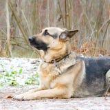 Östligt - européherde Den unga driftiga förskräckta hunden går i skogen royaltyfria bilder