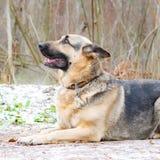 Östligt - européherde Den unga driftiga förskräckta hunden går i skogen royaltyfria foton