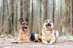 Östligt - européherde Den unga driftiga förskräckta hunden går i skogen royaltyfri foto