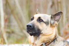 Östligt - européherde Den unga driftiga förskräckta hunden går i skogen fotografering för bildbyråer
