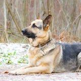Östligt - européherde Den unga driftiga hunden går i skogen arkivfoton