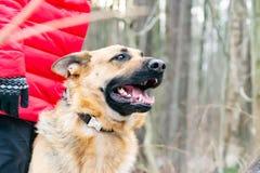 Östligt - européherde Den unga driftiga hunden går i skogen arkivbild