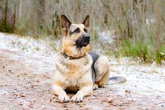 Östligt - européherde Den unga driftiga hunden går i skogen arkivbilder