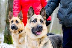 Östligt - européherde Den unga driftiga hunden går i skogen royaltyfri fotografi