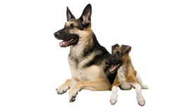 Östligt - europeisk får-hund med foxterriern på vit royaltyfri bild