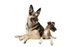 Östligt - europeisk får-hund med foxterriern på vit royaltyfria foton