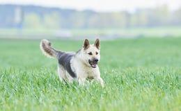 Östligt - europeisk fullblods- herdehund i fält royaltyfri bild