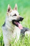 Östligt - europeisk fullblods- herdehund i fält arkivfoton