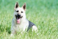 Östligt - europeisk fullblods- herdehund i fält royaltyfria bilder