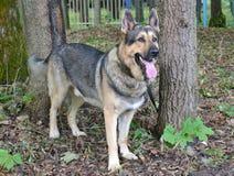 Östligt - europeisk herdehund arkivbild