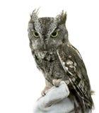 Östligt gnissel Owl Isolated royaltyfri foto