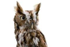 Östligt gnissel Owl Isolated arkivfoto