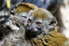 Östligt lesser bambumaki (den Hapalemur griseusen) arkivfoton
