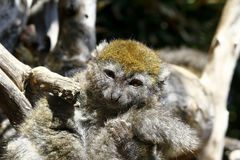 Östligt lesser bambumaki (den Hapalemur griseusen) fotografering för bildbyråer