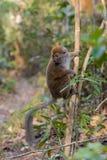 Östligt lesser bambumakiHapalemur griseus fotografering för bildbyråer