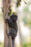 Östligt lesser bambumakiHapalemur griseus arkivfoto