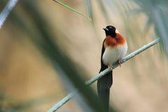 Östligt paradis-whydah royaltyfria bilder