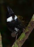 Östligt piska fågeln royaltyfri bild