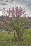 Östligt Redbud träd royaltyfria foton