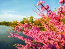 Östligt redbudträd nära en lagun Landskap för natursylt Rosa blommor fotografering för bildbyråer