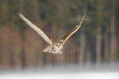 Östligt SiberianEagle Owl flyg i vinter Härlig uggla från Ryssland som flyger över snöig fält Vinterplats med majestätisk sällsyn royaltyfri bild