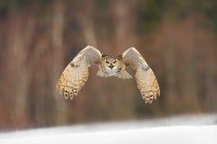 Östligt SiberianEagle Owl flyg i vinter Härlig uggla från Ryssland som flyger över snöig fält Vinterplats med majestätisk sällsyn royaltyfri foto