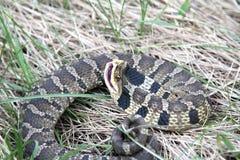 Östligt slag för Hognose orm royaltyfria foton