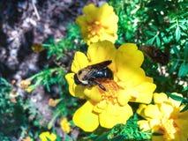 Östligt snickarebi som pollinerar en blomma Royaltyfria Foton