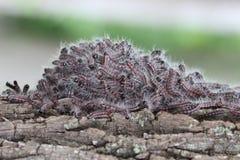 Östligt tält Caterpillar; Malacosoma Americanum Fotografering för Bildbyråer