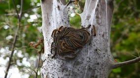 Östligt tält Caterpillar, Malacosomaamericanum, lucka lager videofilmer