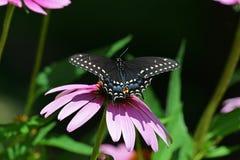 Östligt Tiger Swallowtail Dark Phase kvinnligt sammanträde på en purpurfärgad kotteblomma arkivbilder