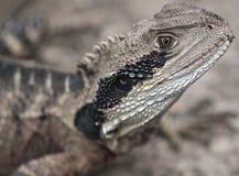 östligt vatten för australiensisk drake Royaltyfria Foton