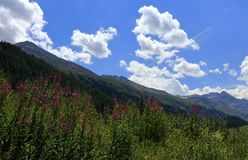 Alpine landscape panorama, Oetztal in Tyrol, Austria. Fireweed and mountains. royalty free stock photos