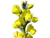 ÖUrup blommor Royaltyfri Bild